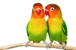 cute-love-birds-parrot-beautiful_103484